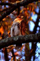 Sunset Hawk by Joseph-W-Johns