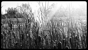 Dancing CatTails by LadyAriessTemptra