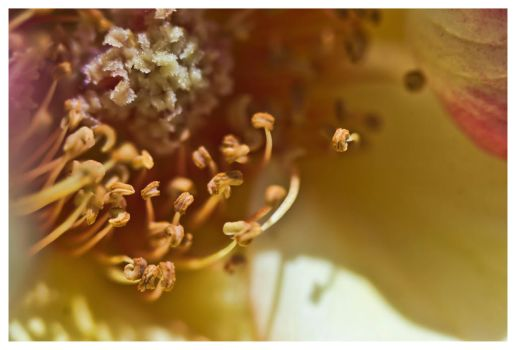 Rose Pollen Macro I by tjackson80