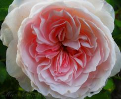 Cottage Rose II by SamanthaLenore