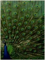 peacock by pixelsandsound