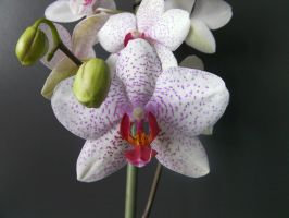 orchid 3 by paolaquasar