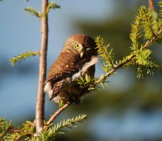 Small Northern Pygmy Owl by ReRileyIII