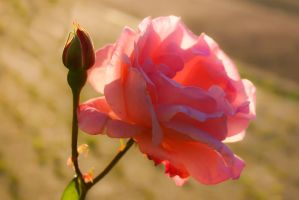 Rose Backlight Closeup by LuDa-Stock
