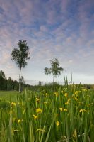 Wild Yellow Irises by DeingeL