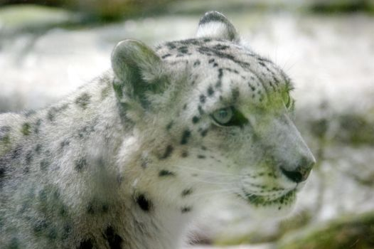 Snow Leopard Facial by WoodenOx