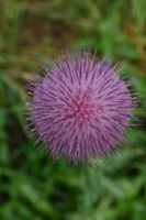Thistle Bloom 0001 by poeticthnkr