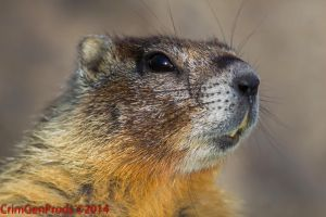 Rock Chuck A.K.A. The Yellow-bellied marmot by CrimGenProds