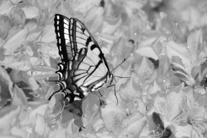 Tiger Swallowtail Black and white by Laur720