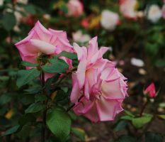 roses of the day by ingeline-art