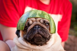 Pug in melon helmet 01 by xenophex