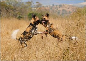Wild Dogs Playing by TamarViewStudio