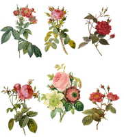 1700-1800's Roses PNG by chaseandlinda