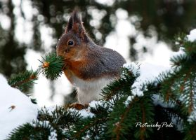 Little Red Squirrel by PictureByPali