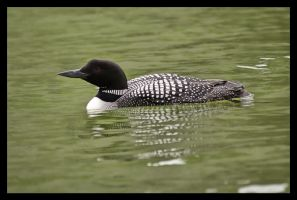 Loon on Silver Spring by wasd