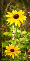 Sunflower family. by pure-spirit