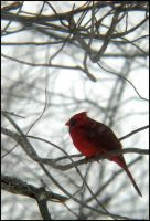 Northern Cardinal by StormPetral0509
