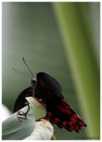 Butterfly 3 by Claudia008