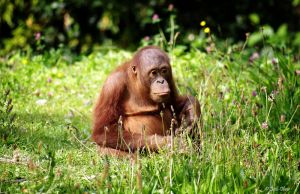 Baby orangutan in the grass by bethlovesmomijidolls