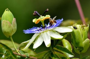 More Passion Flower! by JCooper509