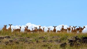 Gazelle Herd by batmantoo