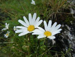 Moon Daisies by LilMickey27