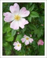 Pink and white flower by MichelleMarie