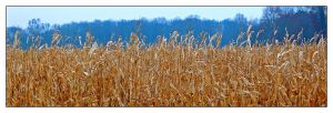 Corn field, redux. with story by harrietsfriend