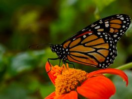 Not Just Another Monarch by mrh