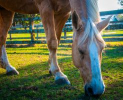 palomino grazing by dressageart13