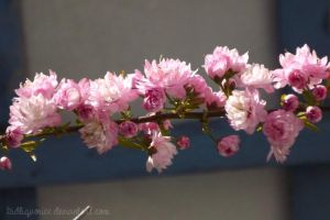 More Chinese Cherry Blossom by kidliquorice