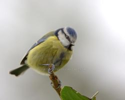 Blue Tit 2 by naturelens
