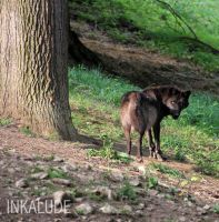 Black wolf. by Inkalude
