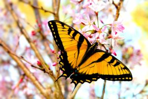 Eastern Tiger Swallowtail Butterfly by Rebelmoon