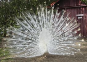 White Peacock Full Fan by MapleRose-stock