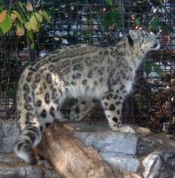 Denver Zoo 19 Snow Leopard by Falln-Stock