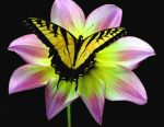 Swallowtail on Marcella Louis by Awesomalicious