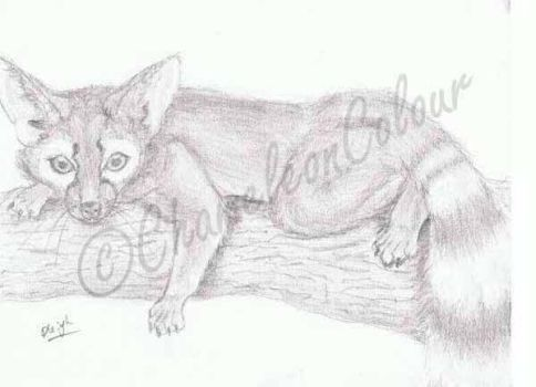 Ringtail or Cacomistle Drawing by ChameleonColour