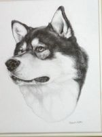Malamute Head Study by nikkiburr