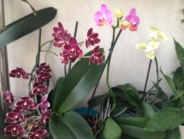 Multicolored orchideas by KunYKA