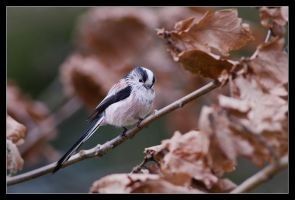 Leroy the Longtailtit by MessiahKhan