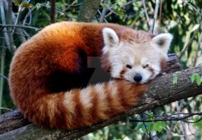 Red Panda I by Elli090