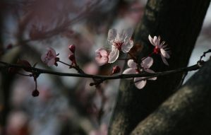 Blossom by Penelope3