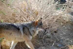 Mexican Wolf by Ravenskysong