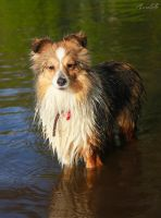 Wet sheltie. by Aannabelle