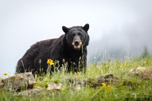 .:Black Bear:. by RHCheng