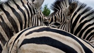 Zebra Eye to Eye Wallpaper by MichelLalonde