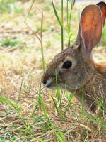Wild Cottontail Rabbit Face by photographyflower