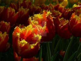Tulips26 by Otoff