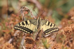Swallowtail by Swallow6